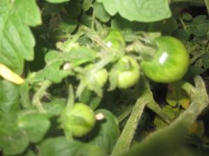 Agridude - Cherry Tomatoes