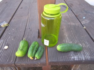 Agridude - Cucumbers picked