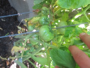 Agridude - Cherry Tomato turning red