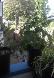 Agridude - Patio Garden Tomato Plant