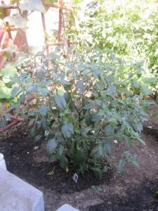Agridude - Serrano plant