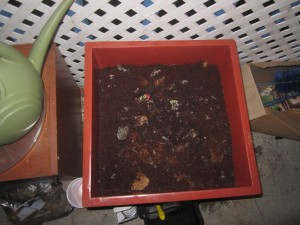 Agridude - Worm Bin after initial feeding