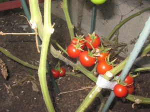 Agridude - Cherry Tomato Clusters Red