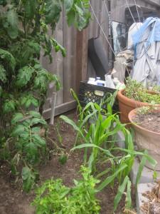 Agridude - Corn Growing