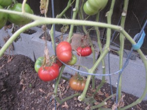 Agridude - Crnkovic Yugoslavian Tomato Clusters