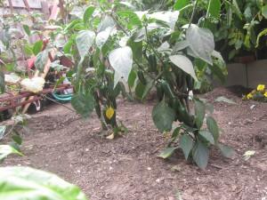Agridude - Jalapenos in the Garden