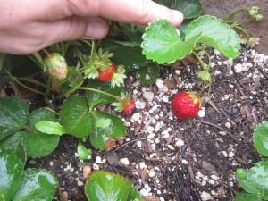 Agridude - Small Strawberry