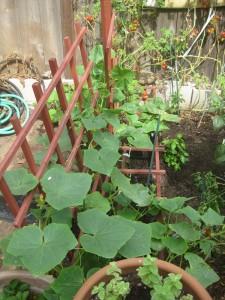 Agridude - Cucumbers Flourishing