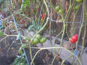 Agridude - Spindly Tomato Vines