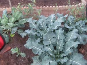 Agridude - Broccoli Corner