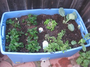 Agridude - Strawberries Basil Oregano Brussel Sprouts